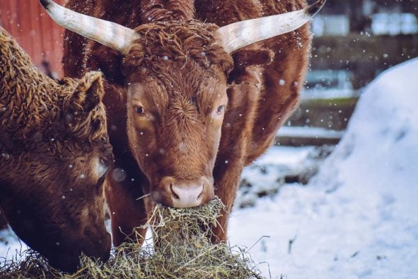 brown cows eating hay in the snow