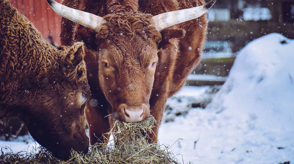 """<img src=""""Cow-Brown.jpg"""" alt=""""brown cows eating hay in the snow"""">"""